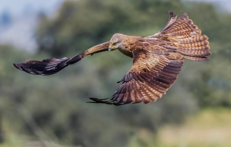 Photo wallpaper bird, flight, a family of hawk, Black kite