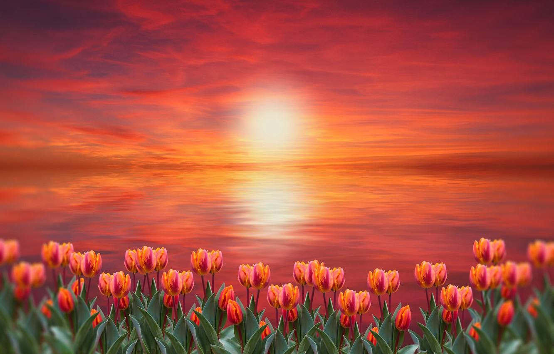 Photo wallpaper sunset, flowers, tulips