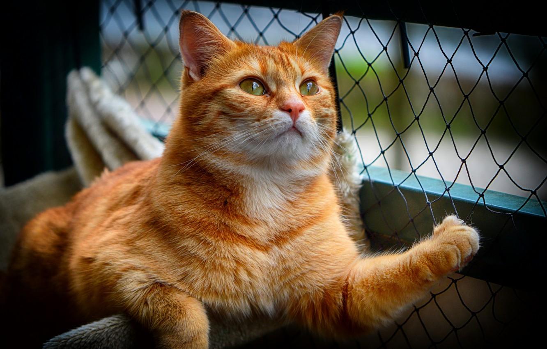 Photo wallpaper cat, cat, look, pose, animal, mesh