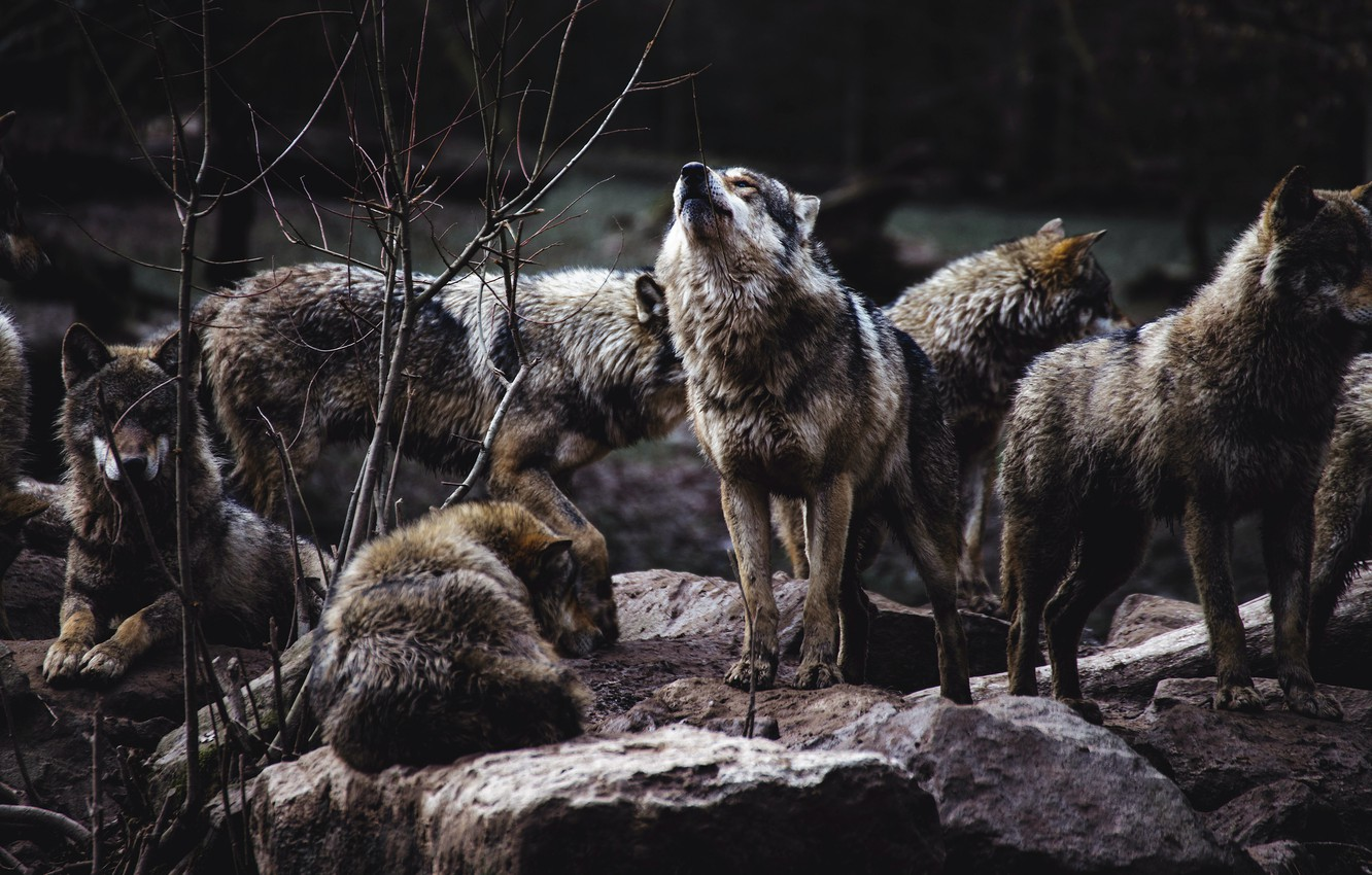 Wallpaper Forest Branches Nature Pose The Dark Background Stones Wolf Pack Wolves Howl Grey A Lot A Pack Of Wolves Wolf Images For Desktop Section Zhivotnye Download
