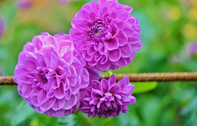 Photo wallpaper flowering, bokeh, dahlias