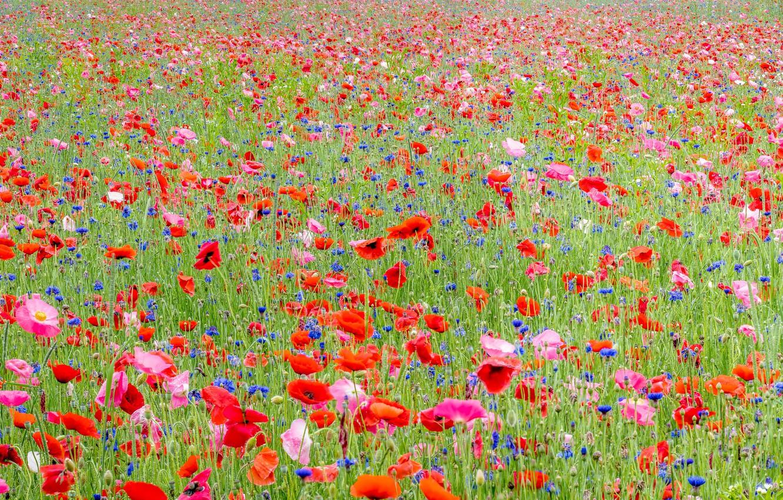 Photo wallpaper field, summer, flowers, Maki, cornflowers