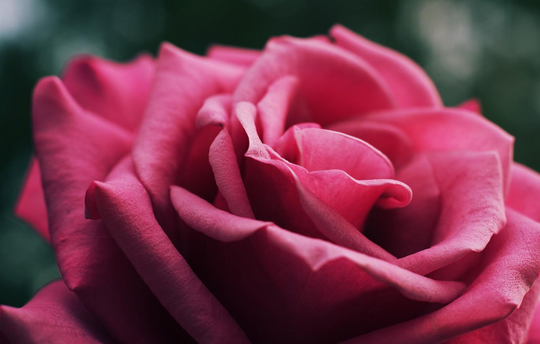 Photo wallpaper flower, macro, close-up, background, pink, rose, petals, Bud