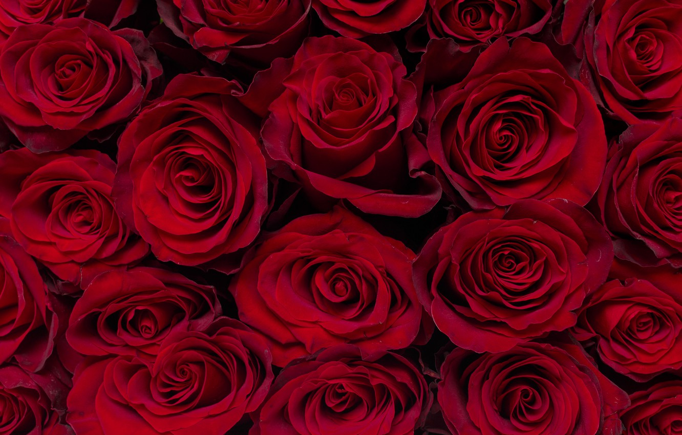 Photo wallpaper roses, red, buds