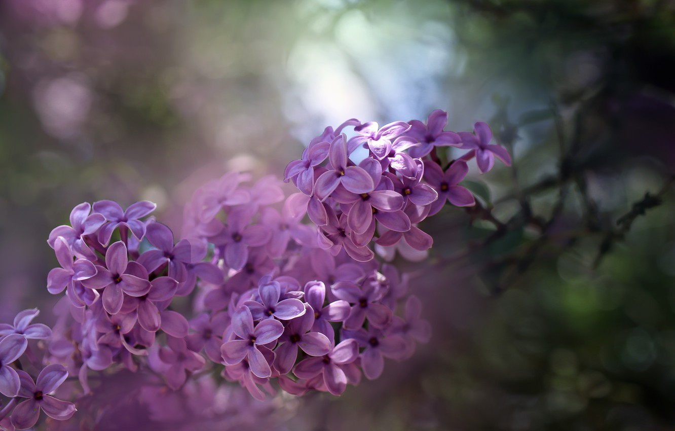 Photo wallpaper macro, nature, branch, spring, bunch, flowers, lilac