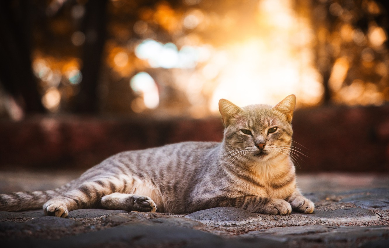 Photo wallpaper cat, street, lies, grey, striped