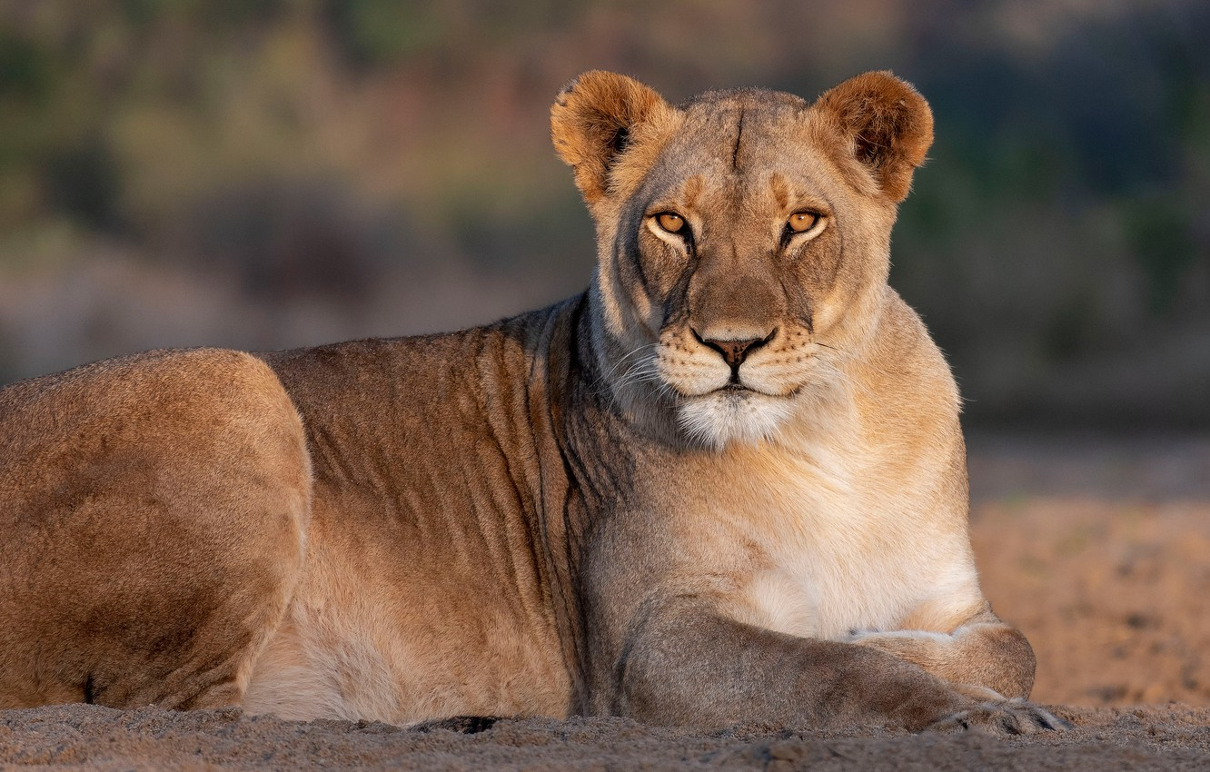 Photo wallpaper look, portrait, lioness, wild cat