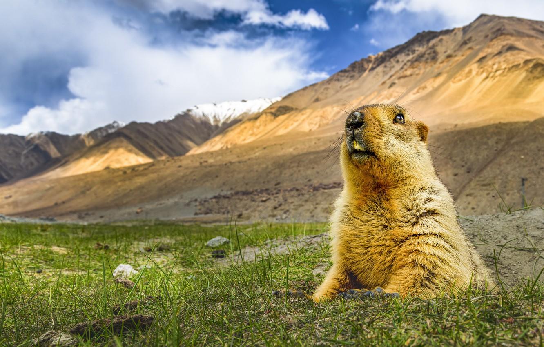 Photo wallpaper nature, Himalayan marmot, Marmota himalayana