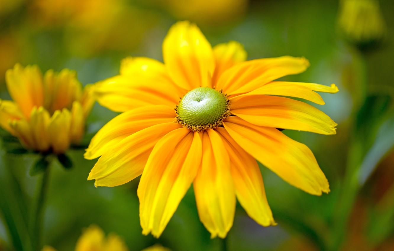 Photo wallpaper macro, petals, yellow, Rudbeckia