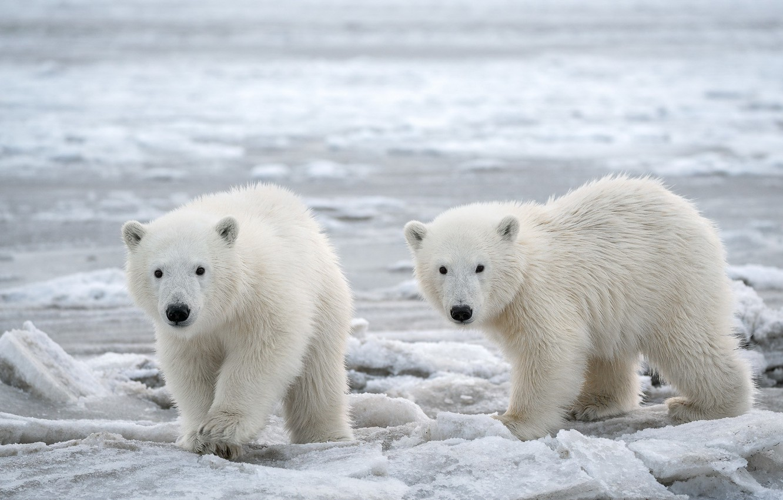 Photo wallpaper Alaska, Snow, cold, Arctic, Polar Bears