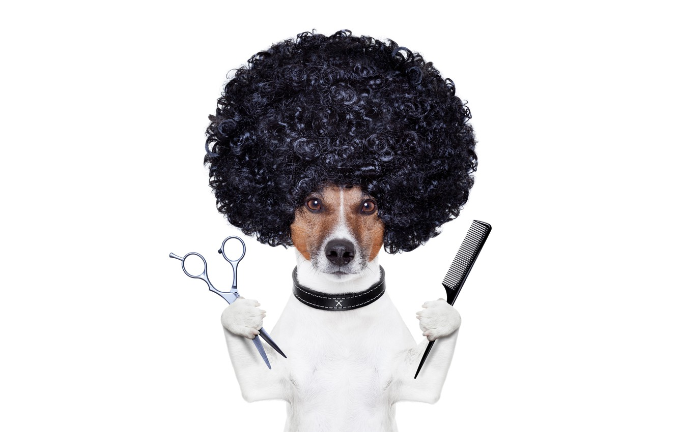 Photo wallpaper hairdresser, photoshop, humor, hairstyle, white background, scissors, comb, Jack Russell Terrier, stylist