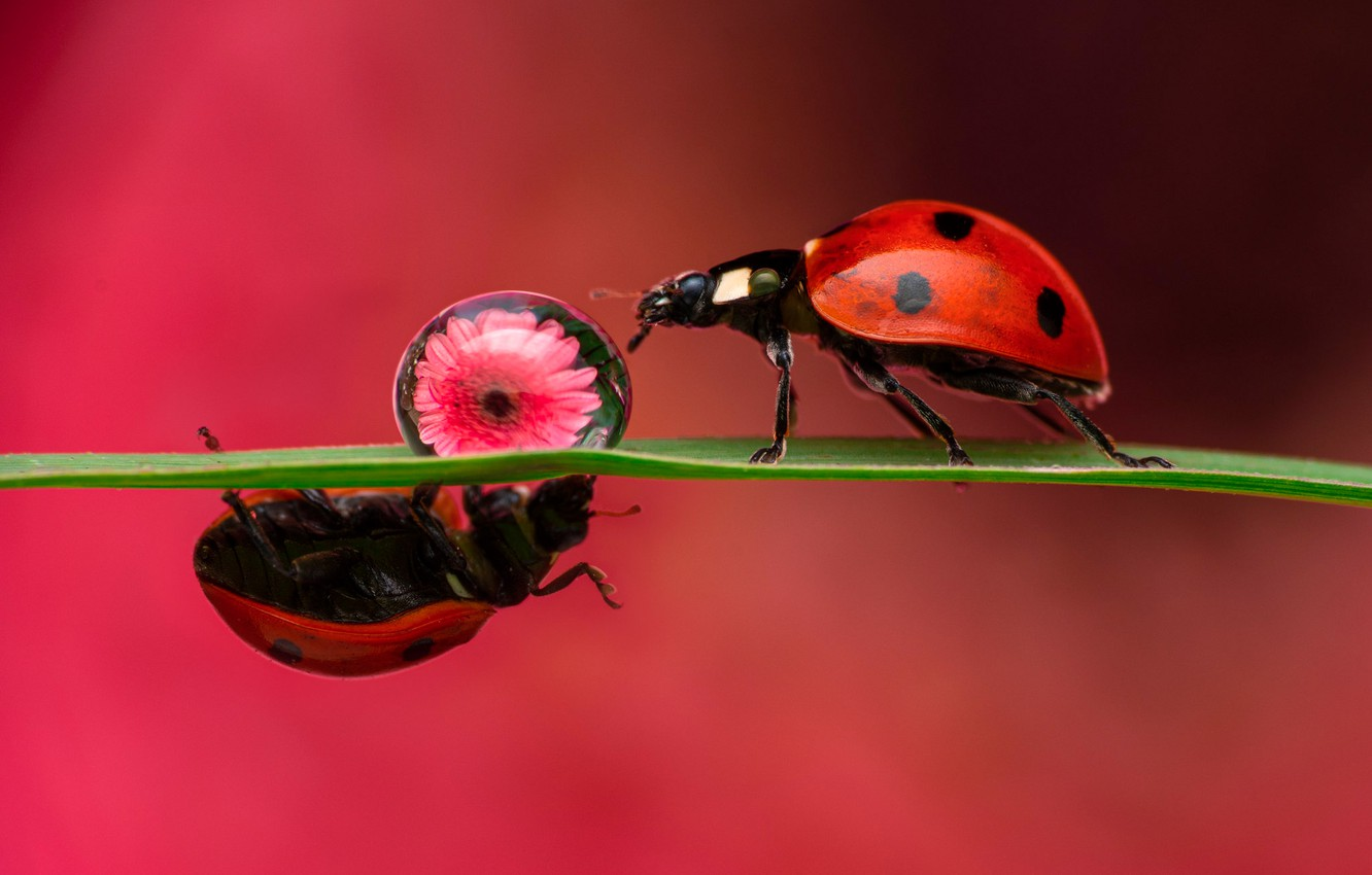 Photo wallpaper flower, macro, insects, background, drop, ladybug, bugs, a couple, a blade of grass