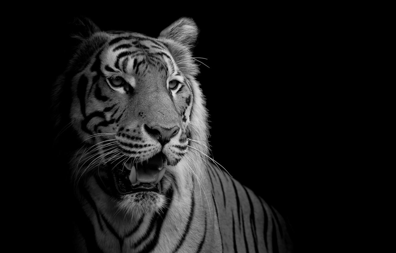 Wallpaper White Black Tiger Feline Images For Desktop Section Koshki Download