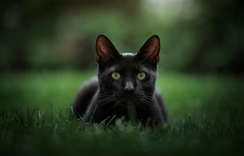 Photo wallpaper grass, look, background, muzzle, bokeh, cat, black cat
