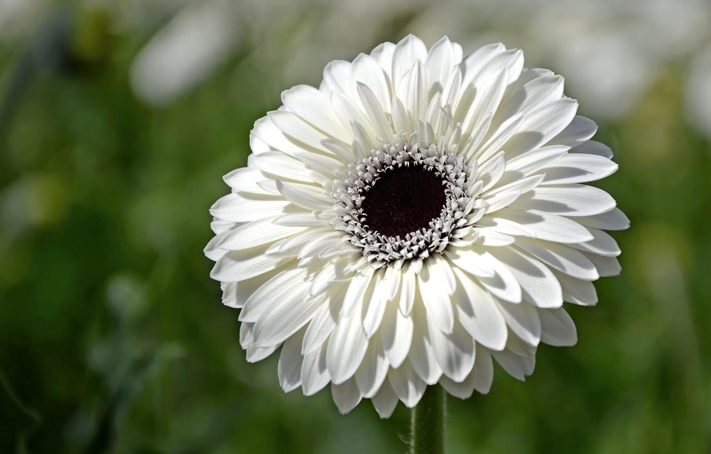 Photo wallpaper white, flower, gerbera
