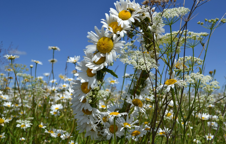 Photo wallpaper summer, the sky, Daisy