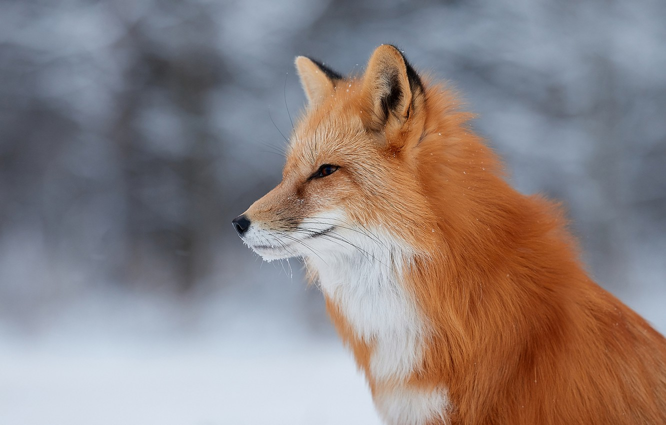 Photo wallpaper face, background, Fox, profile, red, Lana Polyakova