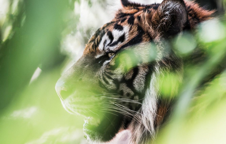 Photo wallpaper greens, face, tiger, portrait, profile, wild cat