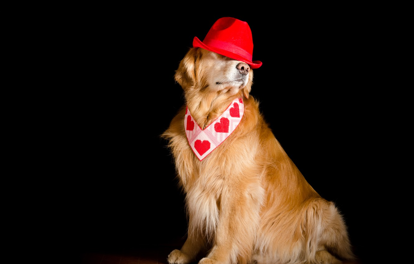 Photo wallpaper background, dog, hat