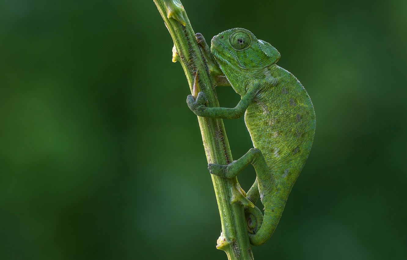 Photo wallpaper look, pose, green, chameleon, background, paws, stem, reptile