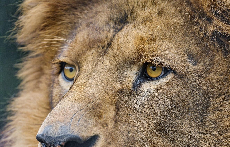 Photo wallpaper look, face, close-up, predator, Leo, big cat