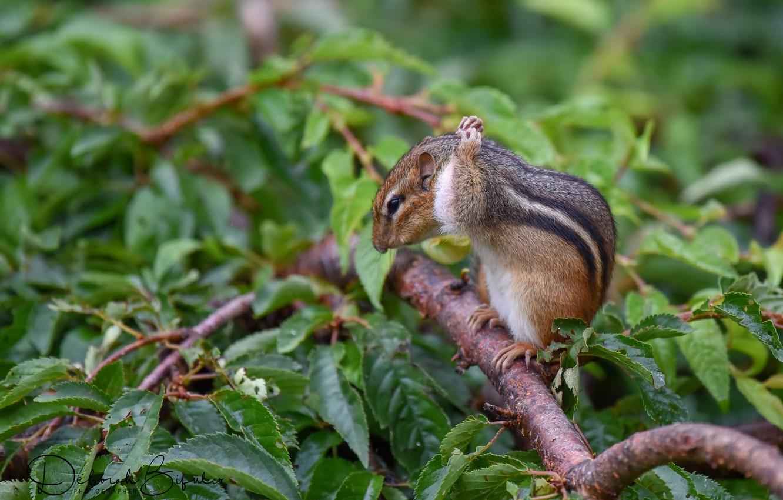 Photo wallpaper branches, Chipmunk, animal
