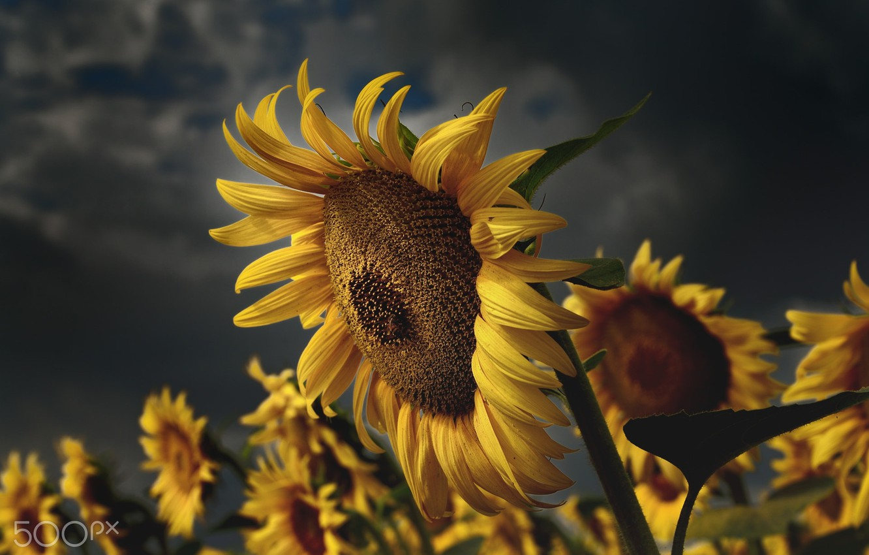 Photo wallpaper summer, sunflowers, nature