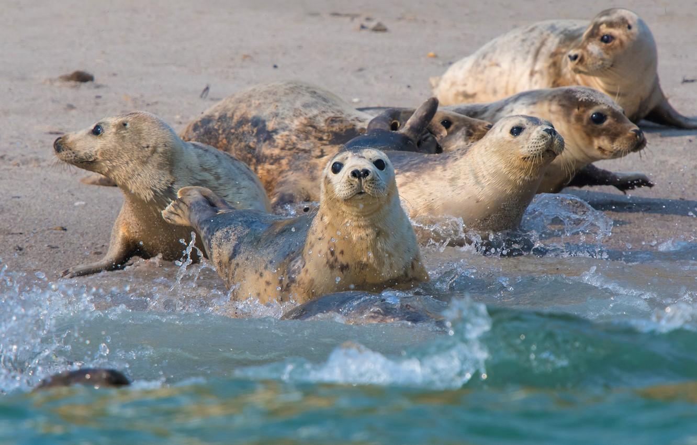 Photo wallpaper sea, wave, squirt, shore, seal, bathing, company, Navy seal, friends, Navy seals, pinnipeds, seals