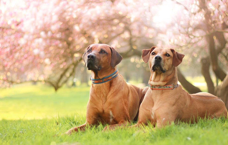 Photo wallpaper dogs, grass, look, light, flowers, nature, pose, Park, background, mood, lawn, portrait, spring, garden, pair, …
