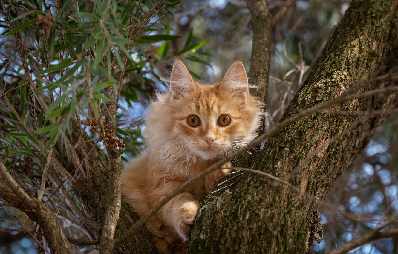 Photo wallpaper cat, cat, look, branches, tree, red, on the tree, cat