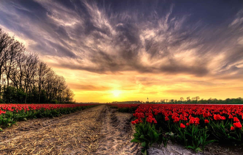 Photo wallpaper field, sunset, tulips