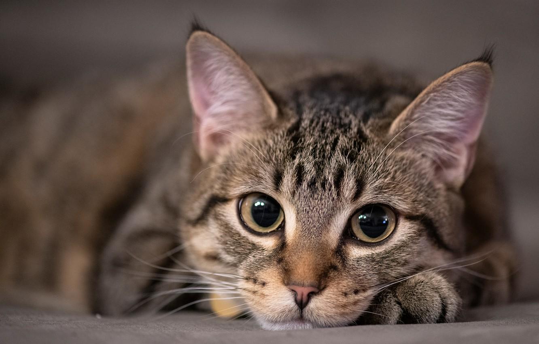 Photo wallpaper cat, eyes, cat, look, face, kitty, grey, portrait, kitty, striped