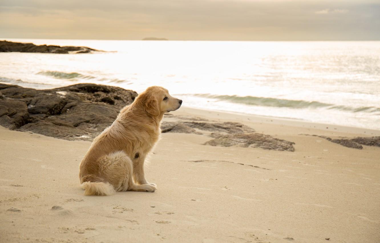 Photo wallpaper sand, sea, beach, summer, dog, summer, golden, Labrador, beach, sea, seascape, dog, sand, labrador, Retriever, …