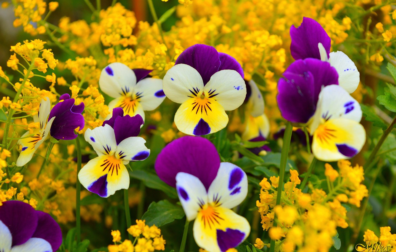 Photo wallpaper Flowers, Pansy, Pansies