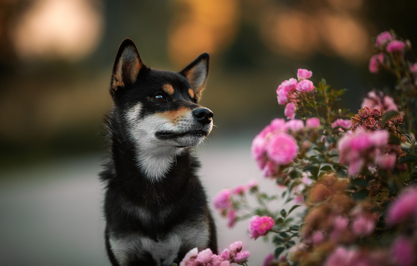 Wallpaper Flowers Background Black Roses Dog Puppy Rose Bush Shiba Inu Shiba Images For Desktop Section Sobaki Download