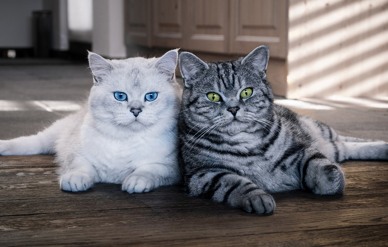 Photo wallpaper cat, eyes, cat, look, light, cats, house, cats, furniture, two, blue, green, pair, kittens, floor, …