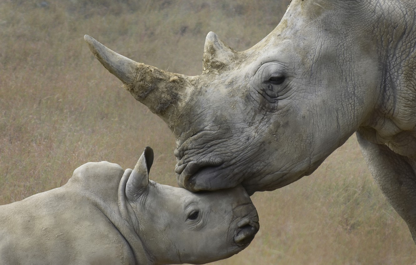 Photo wallpaper nature, background, rhinos