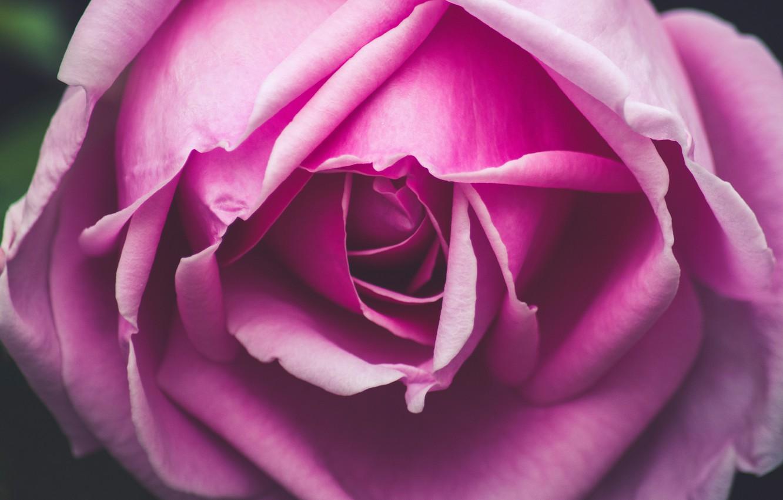 Photo wallpaper flower, macro, close-up, pink, rose, petals, Bud