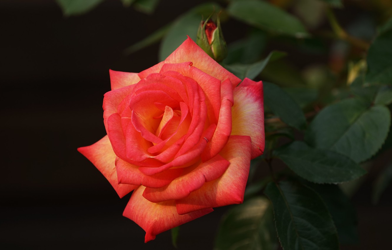 Photo wallpaper leaves, macro, rose, petals, Bud, bright