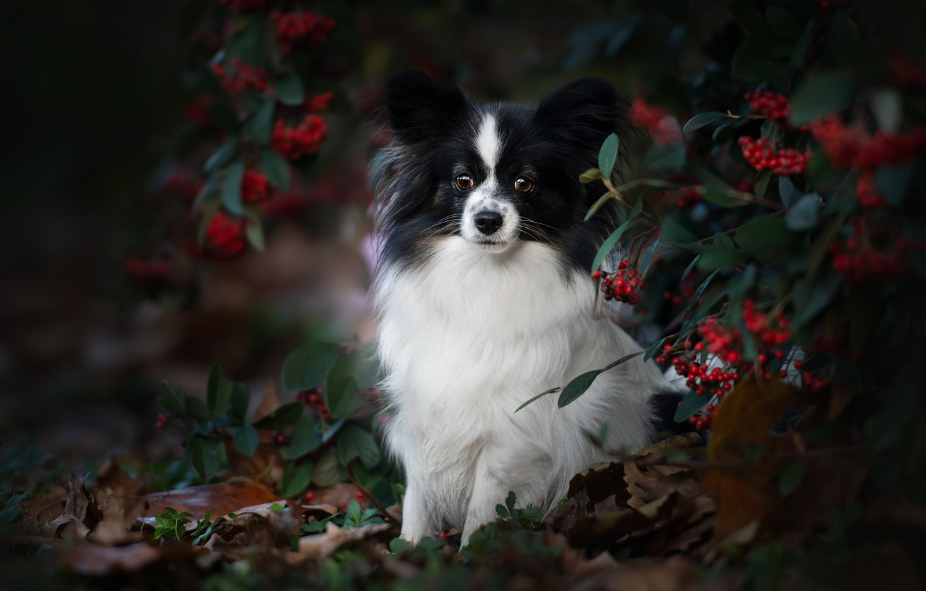 Photo wallpaper autumn, look, branches, berries, portrait, dog, Papillon, The continental toy Spaniel