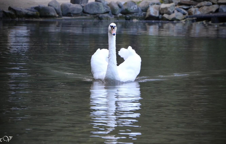 Photo wallpaper lake, beautiful, Swan