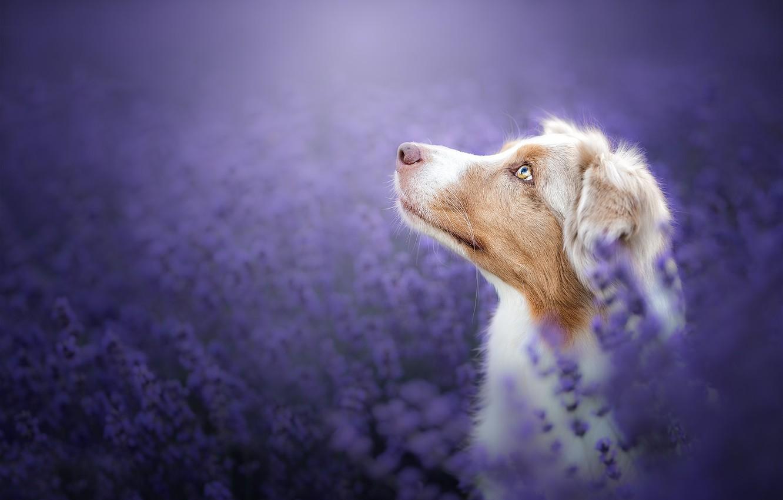 Photo wallpaper face, flowers, background, portrait, dog, profile, lavender, bokeh, Australian shepherd, Aussie