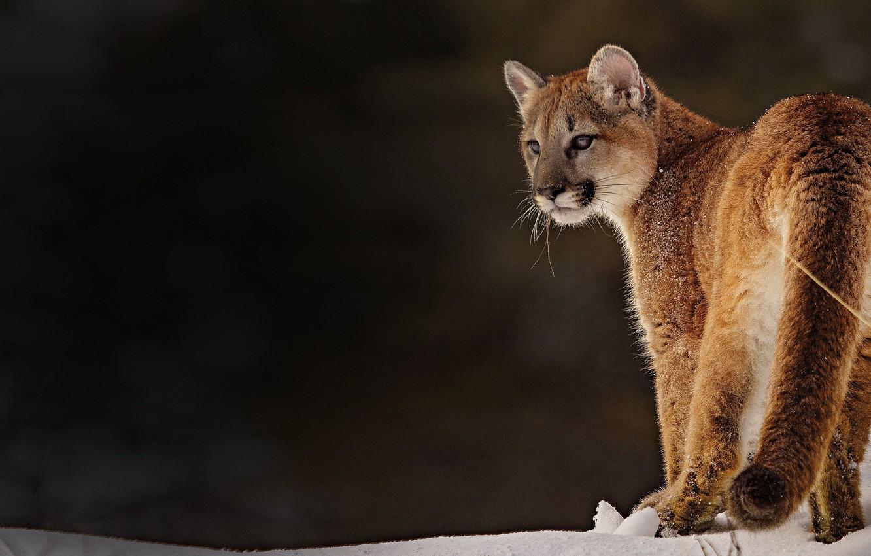 Photo wallpaper background, Puma, wild cat, Cougar
