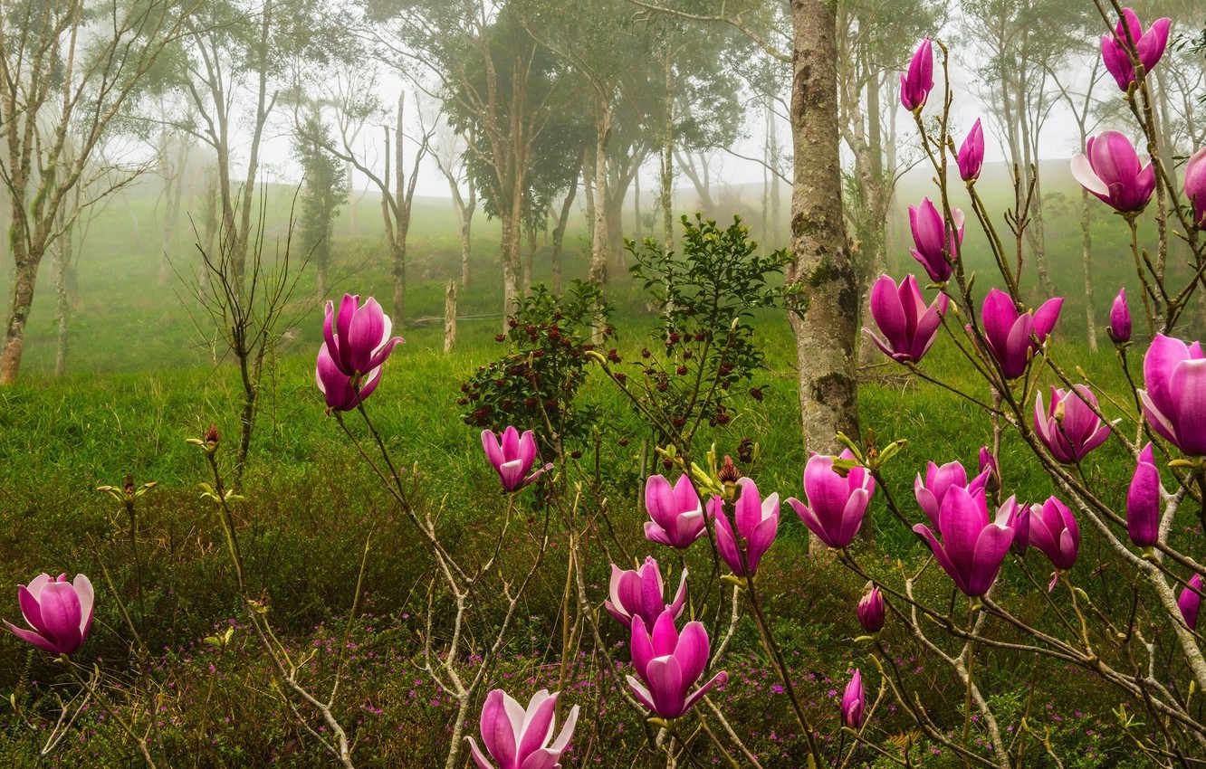 Photo wallpaper forest, trees, flowers, branches, nature, fog, Park, Bush, spring, pink, flowering, Magnolia
