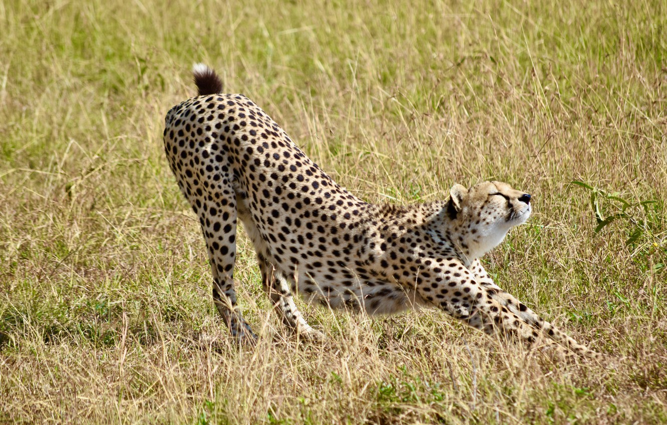 Photo wallpaper grass, nature, predator, Cheetah, big cat, stretching