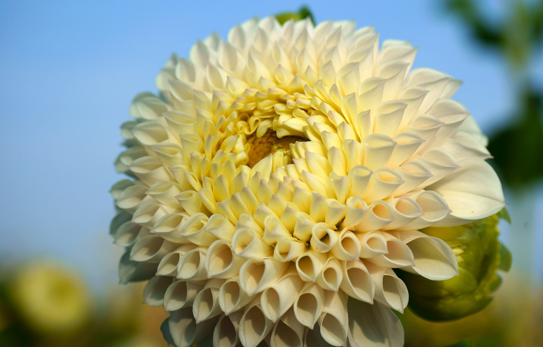 Photo wallpaper flower, leaves, macro, background, petals, garden, white, Dahlia, lush, bright, dahlias, Dahlia