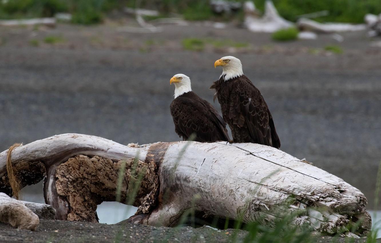 Photo wallpaper look, birds, tree, shore, predators, pair, eagle, snag, the eagles, two, bald eagle