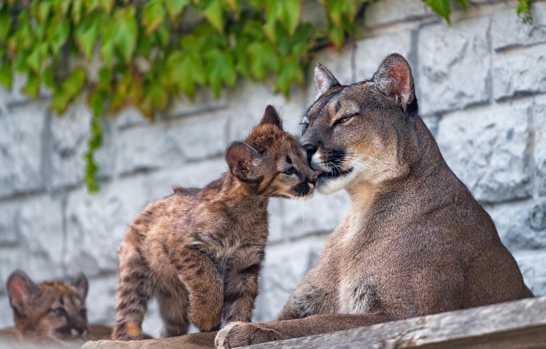 Photo wallpaper wall, baby, weasel, wild cats, Puma, cub, mom, zoo, attachment, Cougars, lumenok
