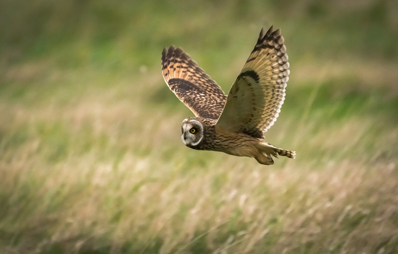 Photo wallpaper field, nature, owl, bird, wings, flight