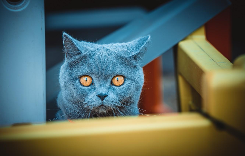Photo wallpaper cat, cat, look, face, blue, design, portrait, maze, wooden, British, yellow eyes, bars, confusion